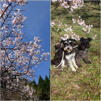 千本桜.jpg