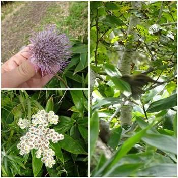 西別岳のお花と鳥.jpg
